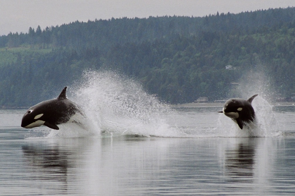 double orca breach