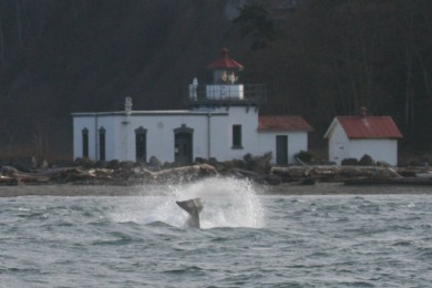 orca lighthouse tailslap