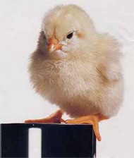 baby chick on jar.jpg