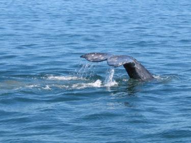 graywhale.jpg