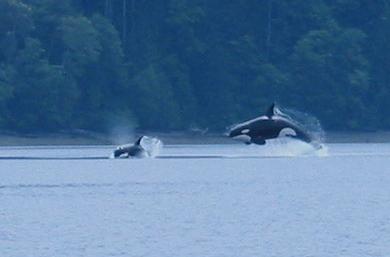 orcas2 001.jpg