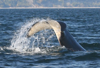 orca tail slap.jpg